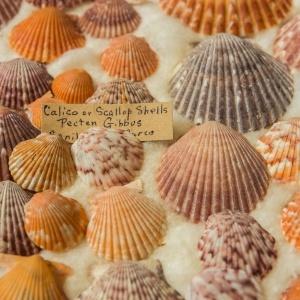 Florida Shell Collection