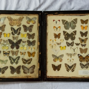 India Butterfly Collection