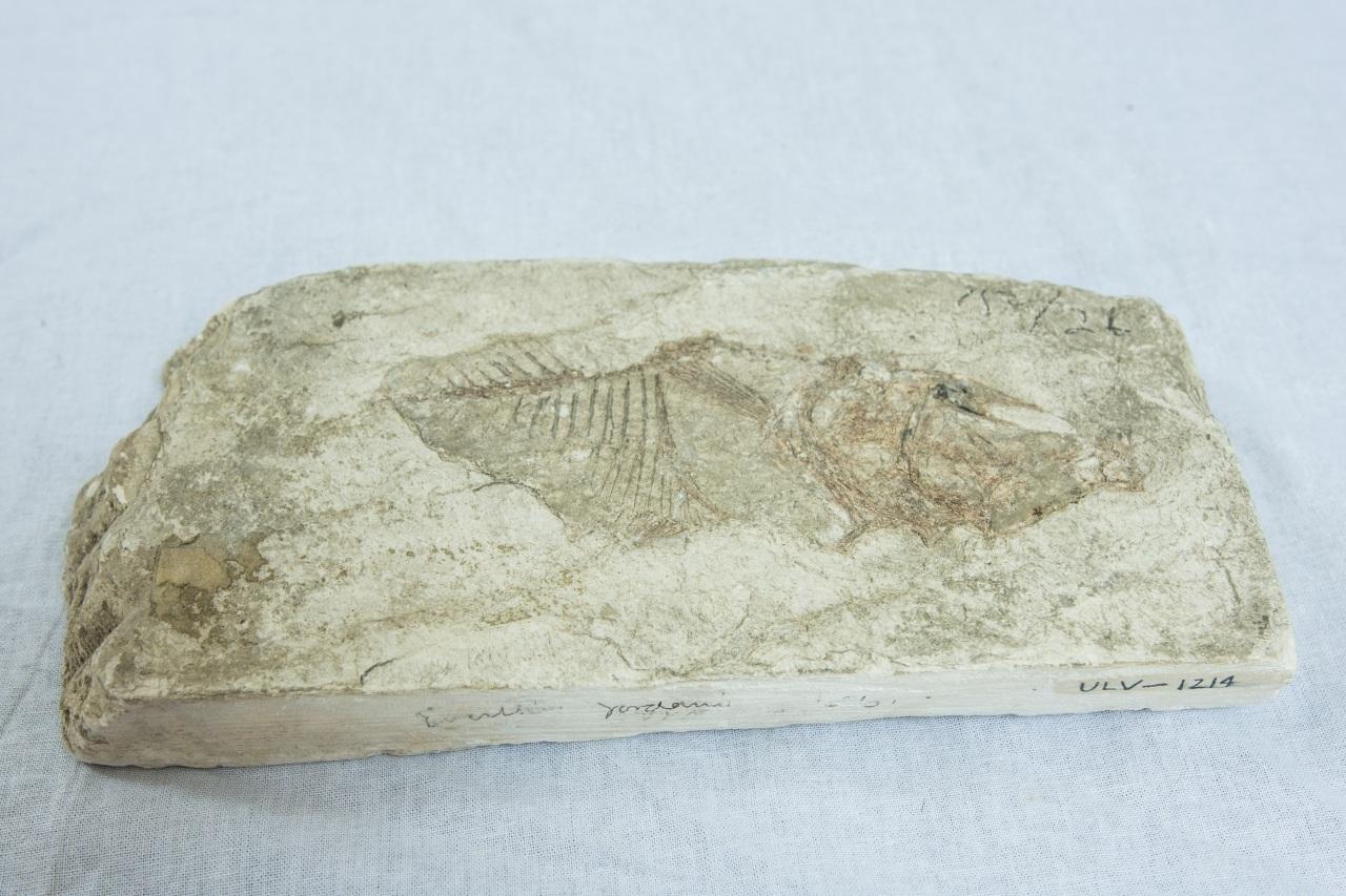 Miocene Era Fish Fossil